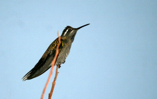 Male Blue-throated Hummingbird at Lajitas on 20 December 2013.  Photo by Carolyn Ohl-Johnson