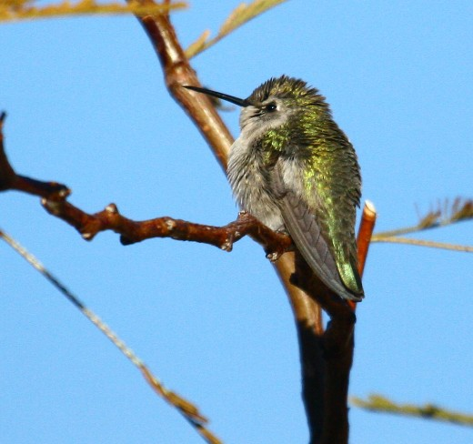 Adult female Costa's Hummingbird at Far Flung.  Photo by Carolyn Ohl-Johnson
